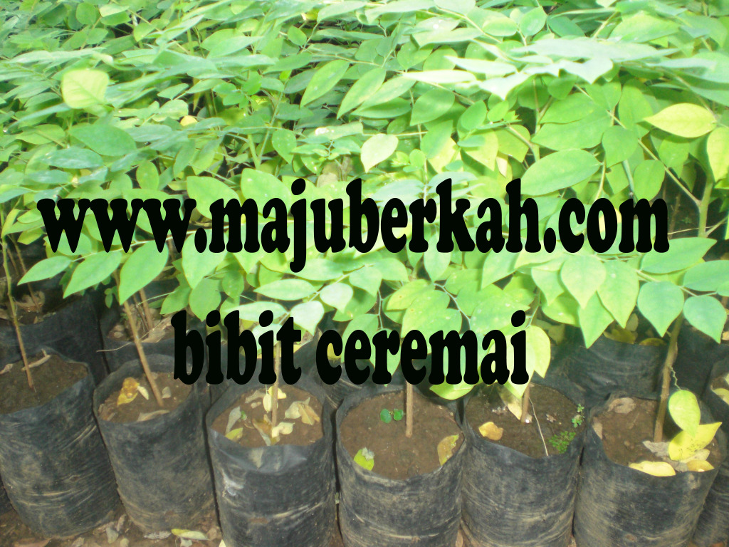 bibit ceremai